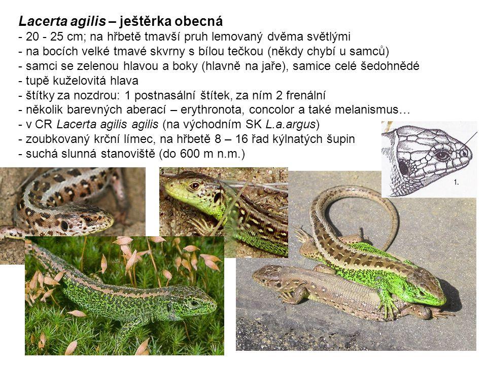 Lacerta agilis – ještěrka obecná