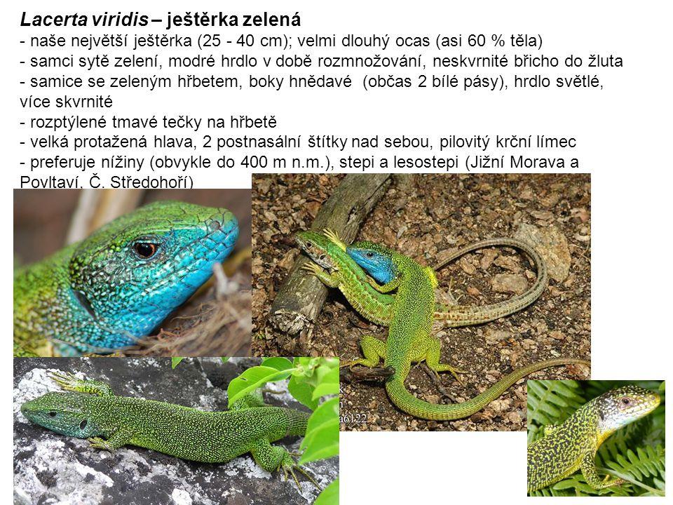Lacerta viridis – ještěrka zelená