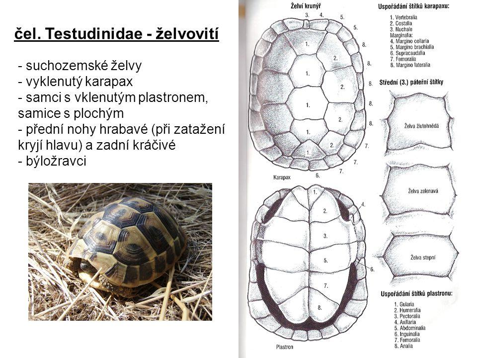 čel. Testudinidae - želvovití