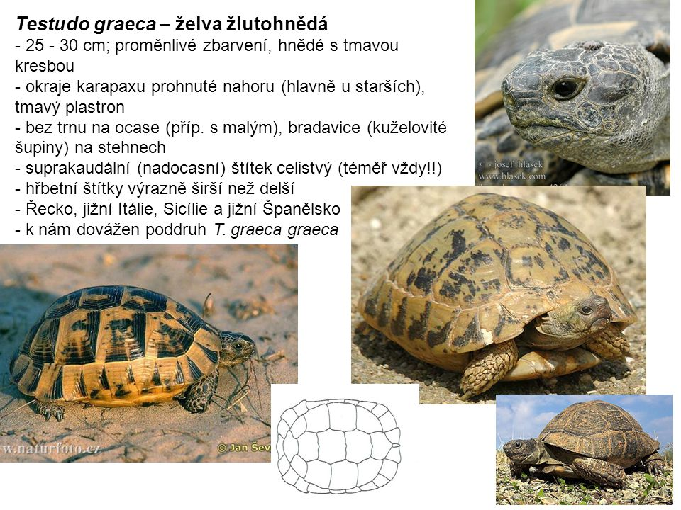 Testudo graeca – želva žlutohnědá