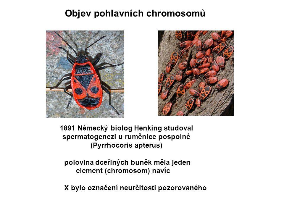 Objev pohlavních chromosomů