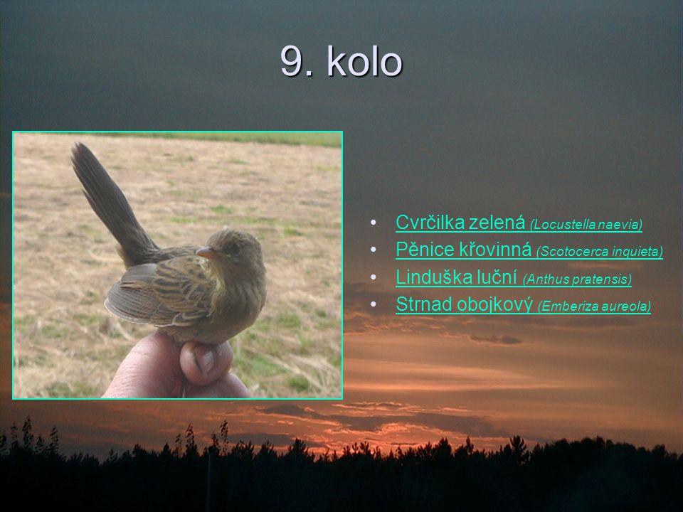 9. kolo Cvrčilka zelená (Locustella naevia)