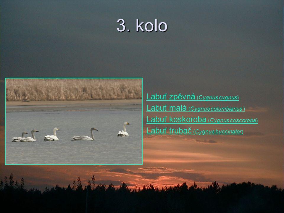 3. kolo Labuť zpěvná (Cygnus cygnus) Labuť malá (Cygnus columbianus )