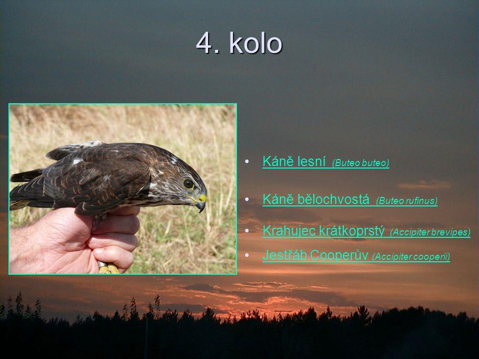 4. kolo Káně lesní (Buteo buteo) Káně bělochvostá (Buteo rufinus)