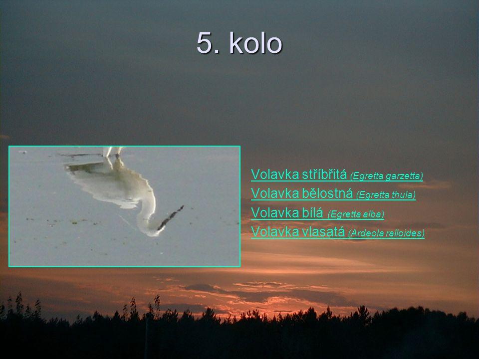 5. kolo Volavka stříbřitá (Egretta garzetta)