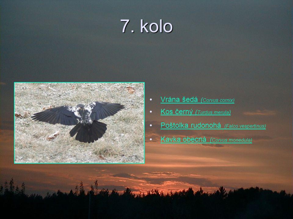7. kolo Vrána šedá (Corvus cornix) Kos černý (Turdus merula)