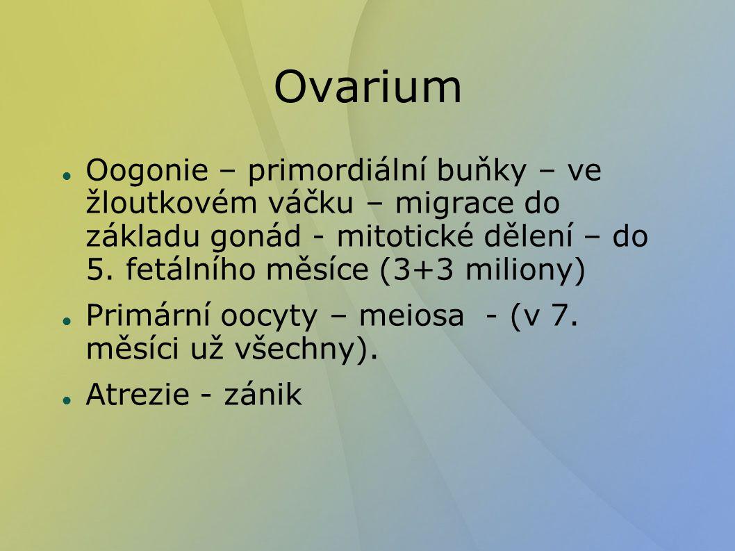 Ovarium Oogonie – primordiální buňky – ve žloutkovém váčku – migrace do základu gonád - mitotické dělení – do 5. fetálního měsíce (3+3 miliony)
