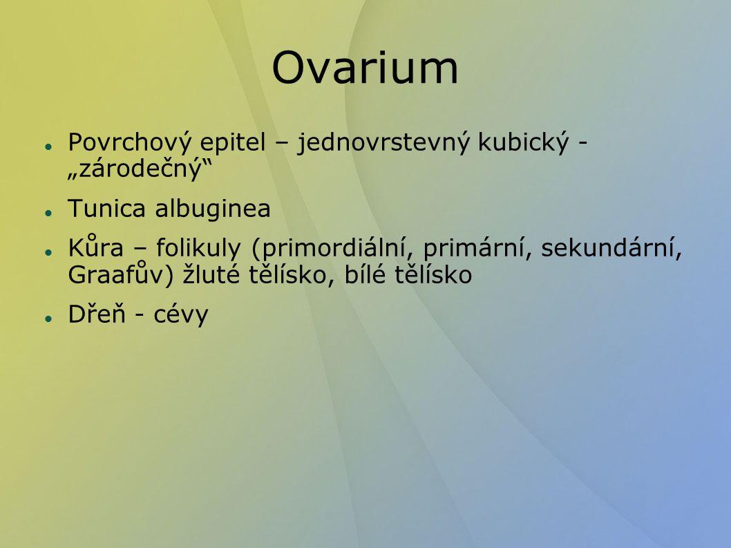 """Ovarium Povrchový epitel – jednovrstevný kubický - """"zárodečný"""