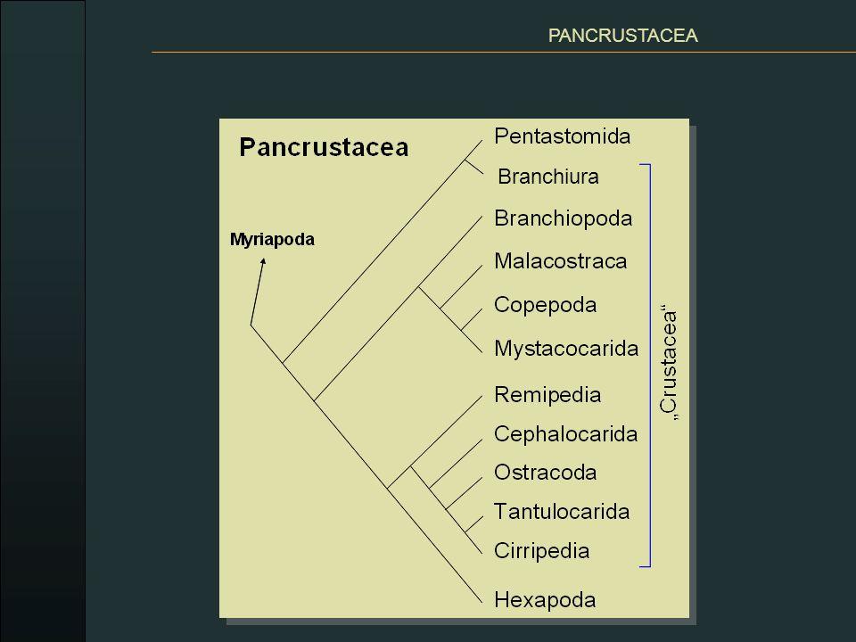 PANCRUSTACEA Branchiura