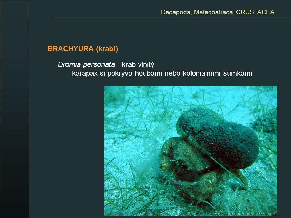 Decapoda, Malacostraca, CRUSTACEA
