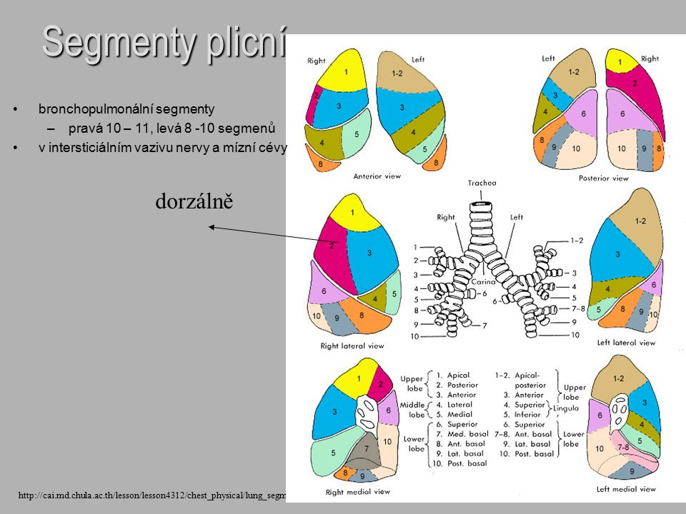 Segmenty plicní dorzálně bronchopulmonální segmenty