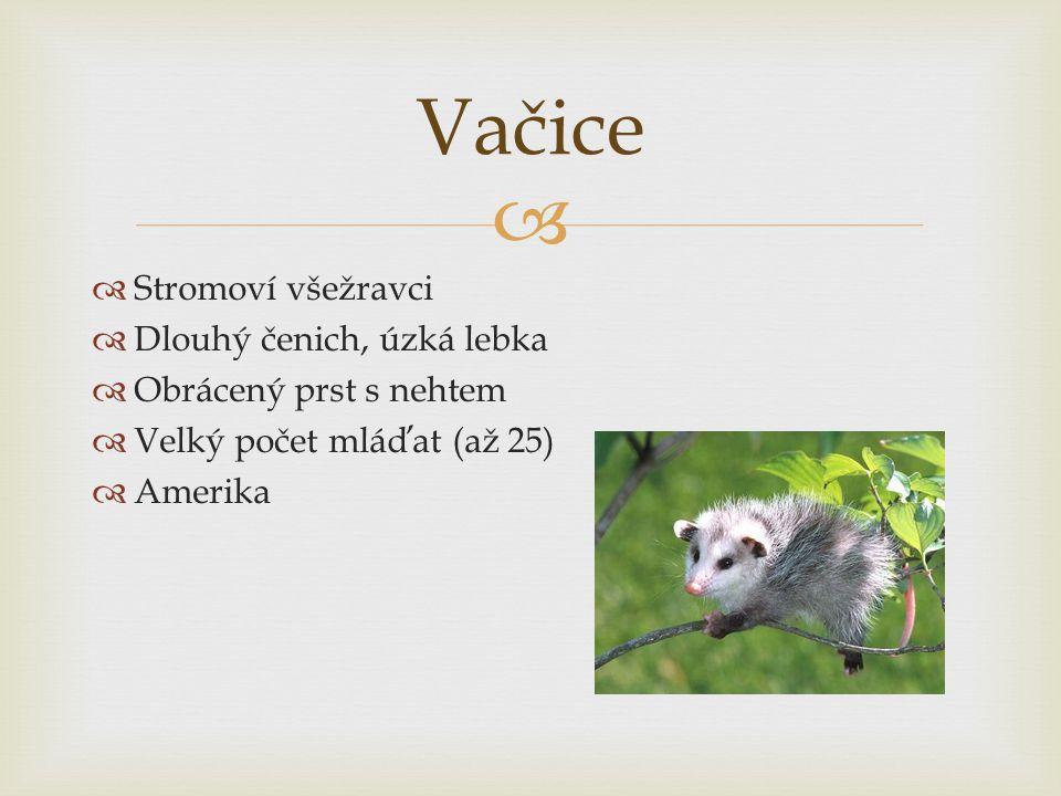 Vačice Stromoví všežravci Dlouhý čenich, úzká lebka
