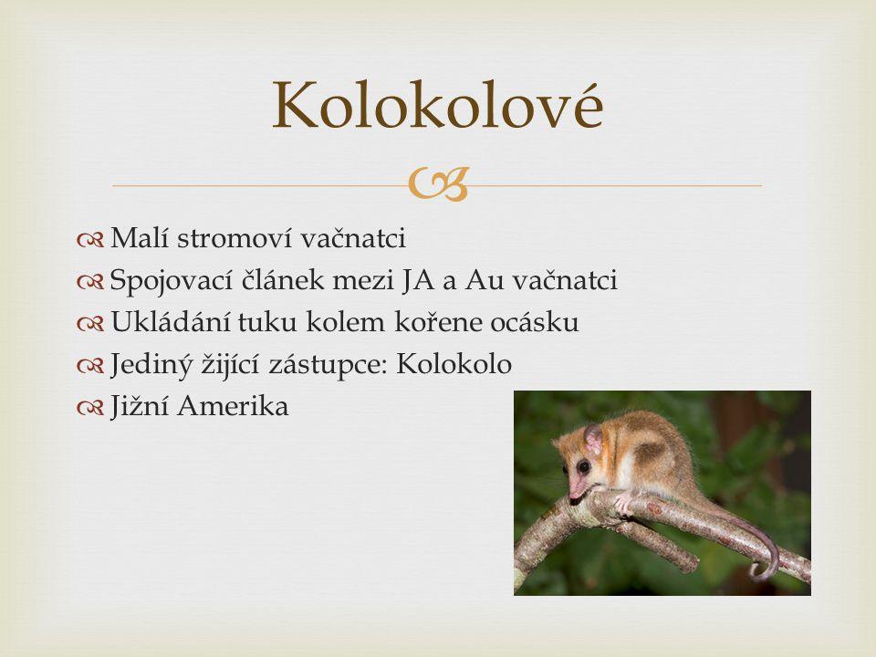 Kolokolové Malí stromoví vačnatci