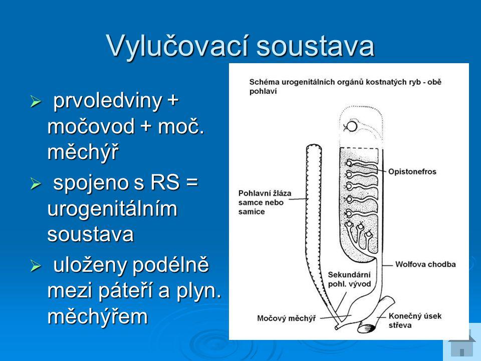Vylučovací soustava prvoledviny + močovod + moč. měchýř