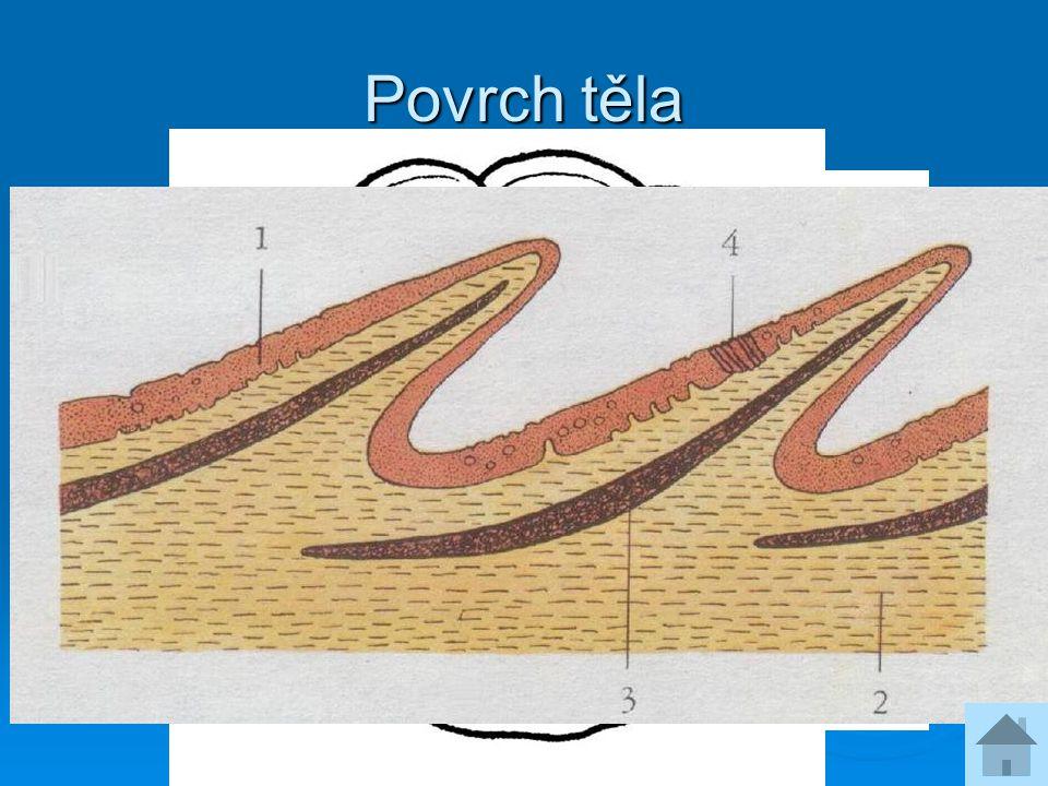 Povrch těla Kůže obsahuje pigmenty a vylučuje sliz