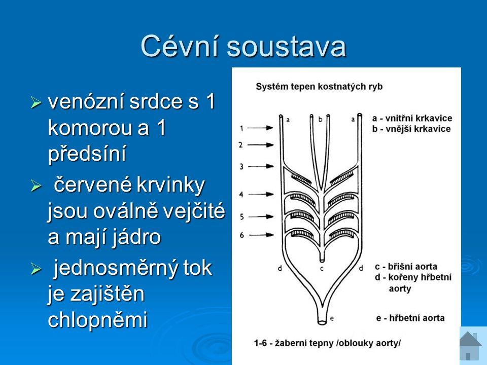 Cévní soustava venózní srdce s 1 komorou a 1 předsíní