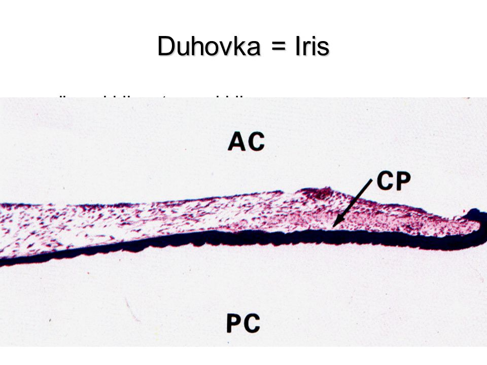 Duhovka = Iris plicae iridis, stroma iridis přední plocha zadní plocha