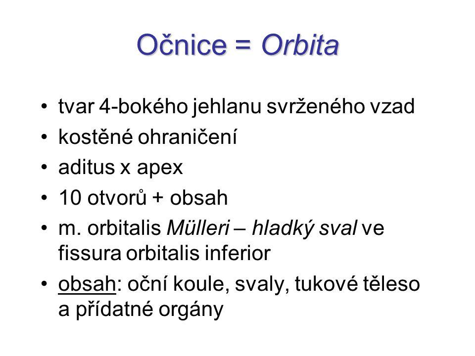Očnice = Orbita tvar 4-bokého jehlanu svrženého vzad