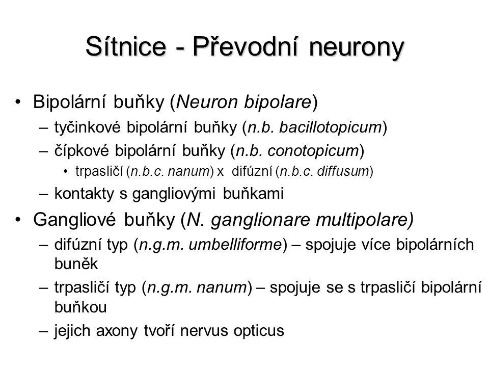 Sítnice - Převodní neurony