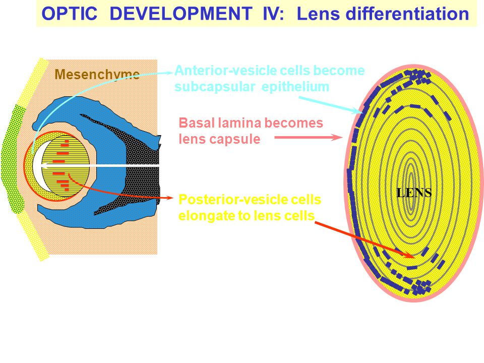 OPTIC DEVELOPMENT IV: Lens differentiation