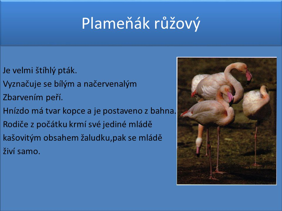 Plameňák růžový Je velmi štíhlý pták.