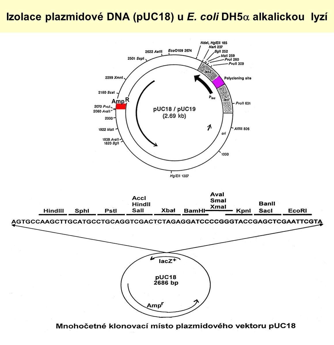 Izolace plazmidové DNA (pUC18) u E. coli DH5a alkalickou lyzí
