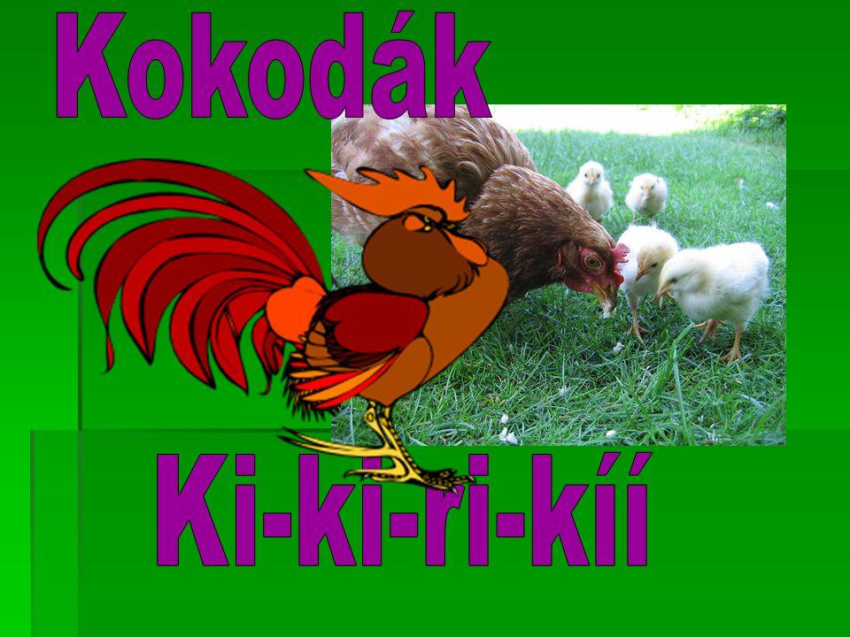 Kokodák Ki-ki-ri-kíí