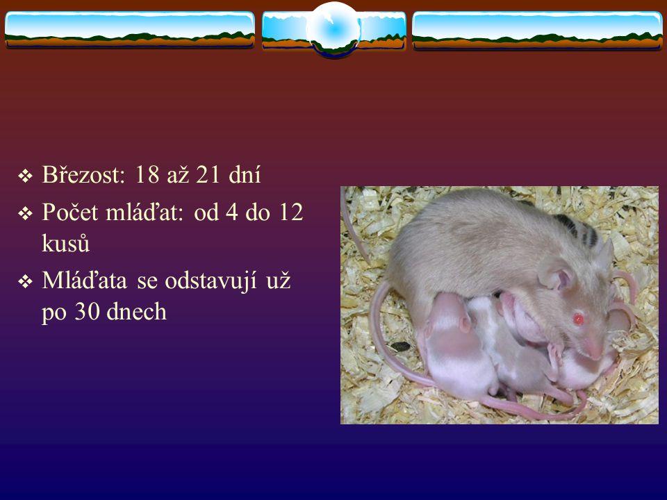 Březost: 18 až 21 dní Počet mláďat: od 4 do 12 kusů Mláďata se odstavují už po 30 dnech