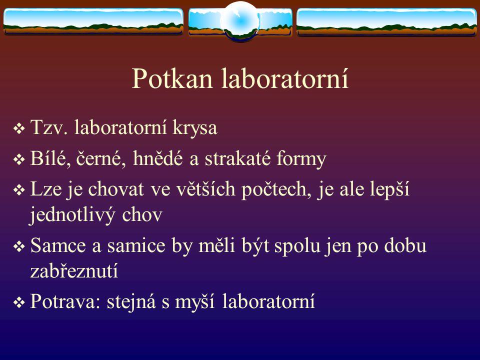 Potkan laboratorní Tzv. laboratorní krysa