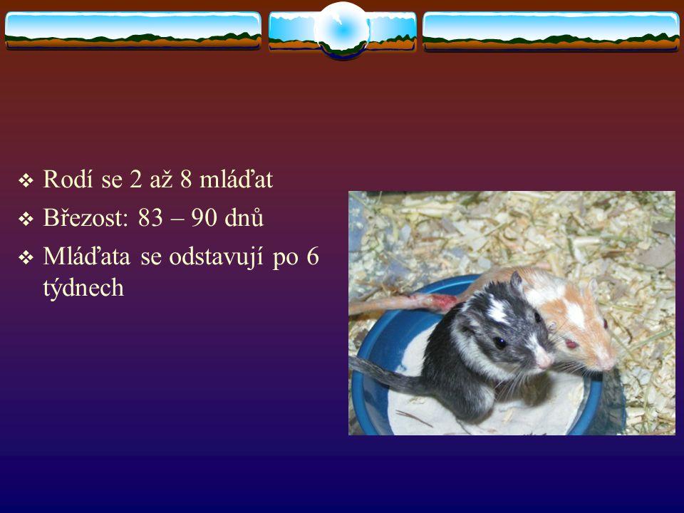 Rodí se 2 až 8 mláďat Březost: 83 – 90 dnů Mláďata se odstavují po 6 týdnech