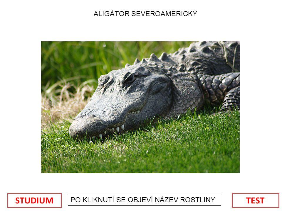 ALIGÁTOR SEVEROAMERICKÝ