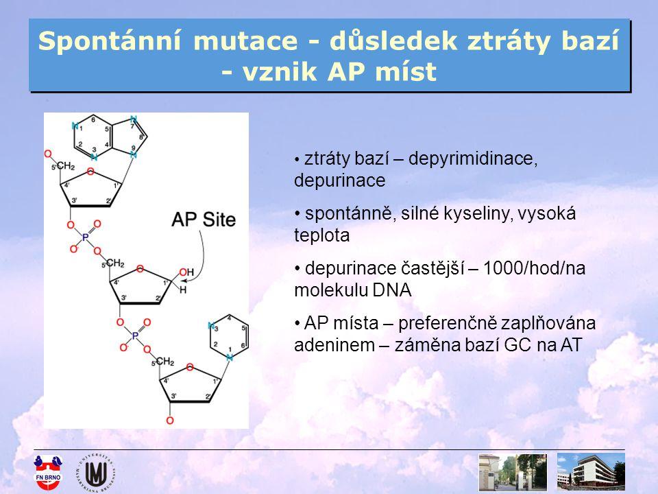 Spontánní mutace - důsledek ztráty bazí - vznik AP míst