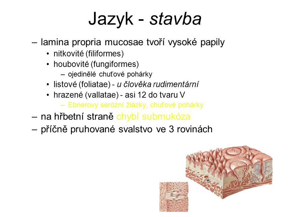 Jazyk - stavba lamina propria mucosae tvoří vysoké papily