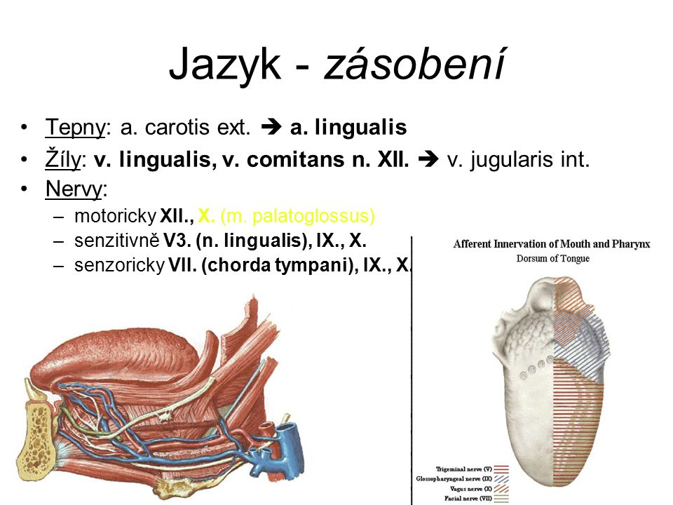 Jazyk - zásobení Tepny: a. carotis ext.  a. lingualis