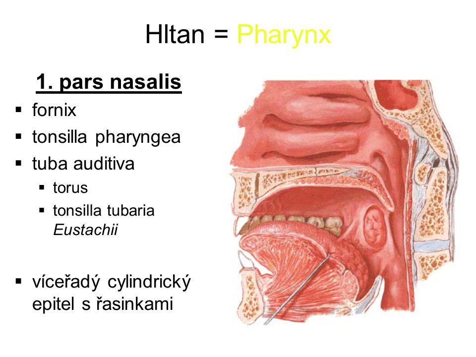 Hltan = Pharynx 1. pars nasalis fornix tonsilla pharyngea