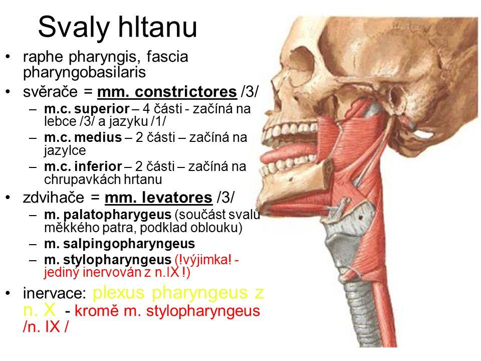 Svaly hltanu raphe pharyngis, fascia pharyngobasilaris