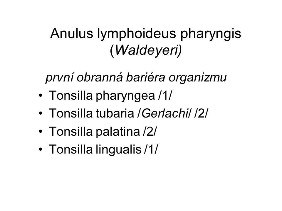 Anulus lymphoideus pharyngis (Waldeyeri)