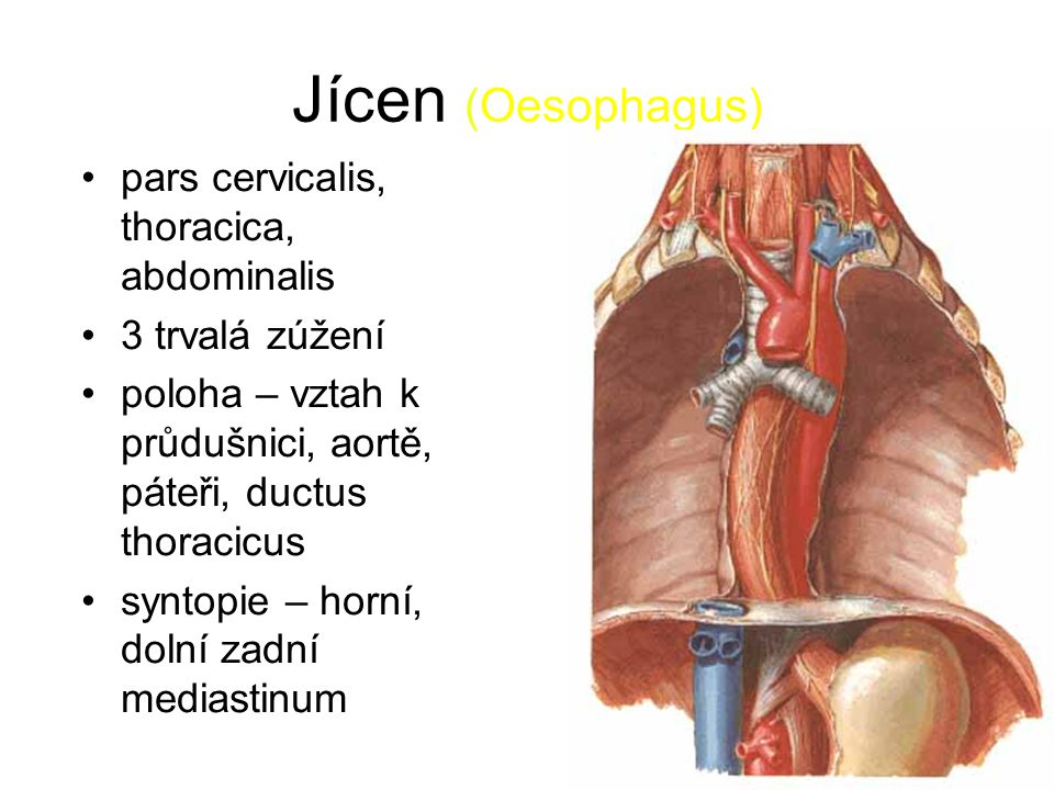Jícen (Oesophagus) pars cervicalis, thoracica, abdominalis