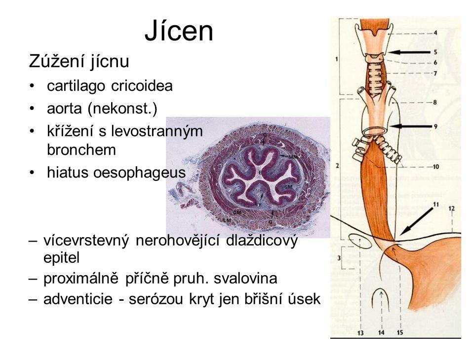Jícen Zúžení jícnu cartilago cricoidea aorta (nekonst.)