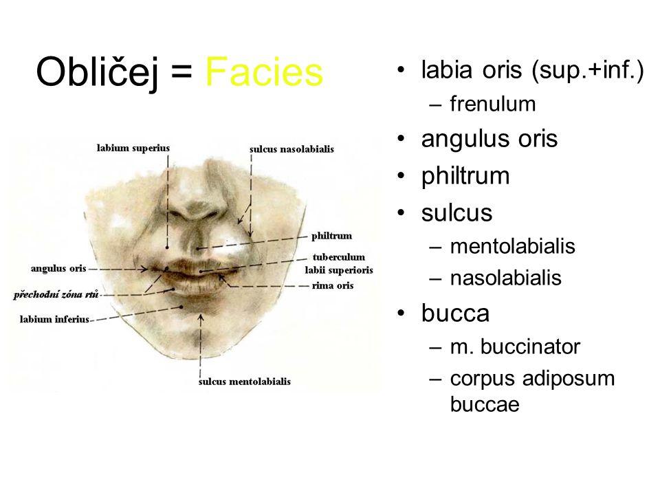 Obličej = Facies labia oris (sup.+inf.) angulus oris philtrum sulcus
