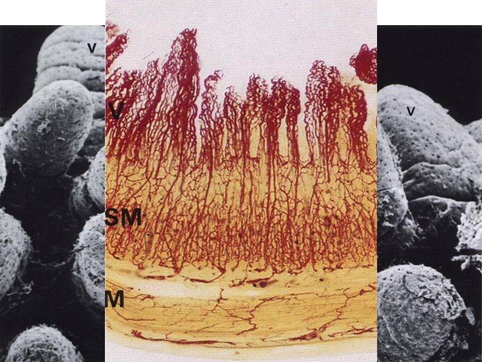 Klky = Villi intestinales