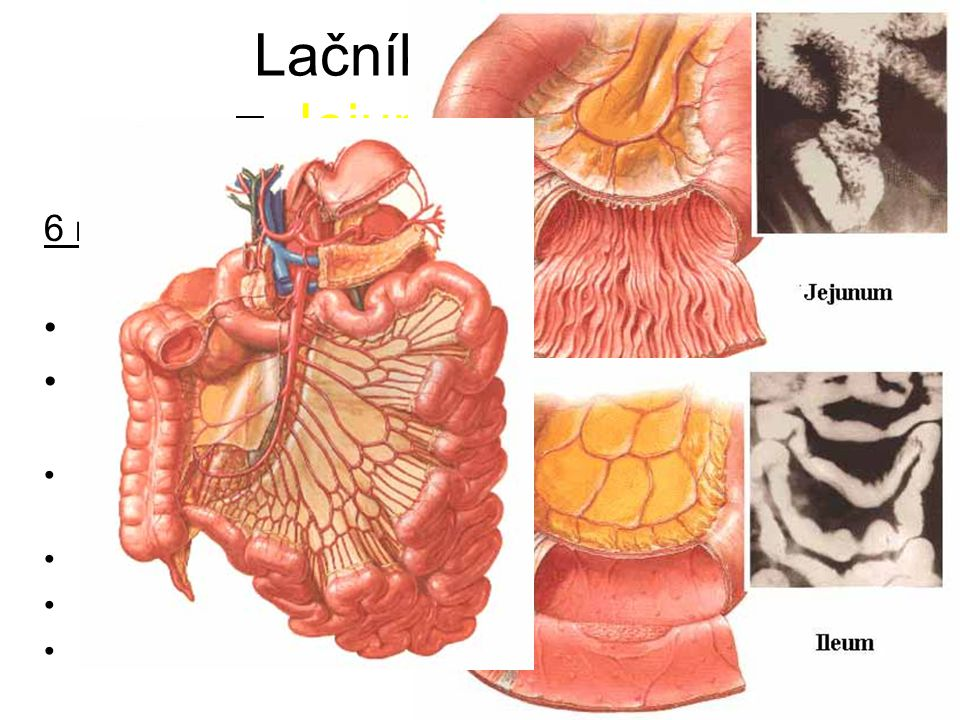 Lačník a kyčelník = Jejunum et ileum