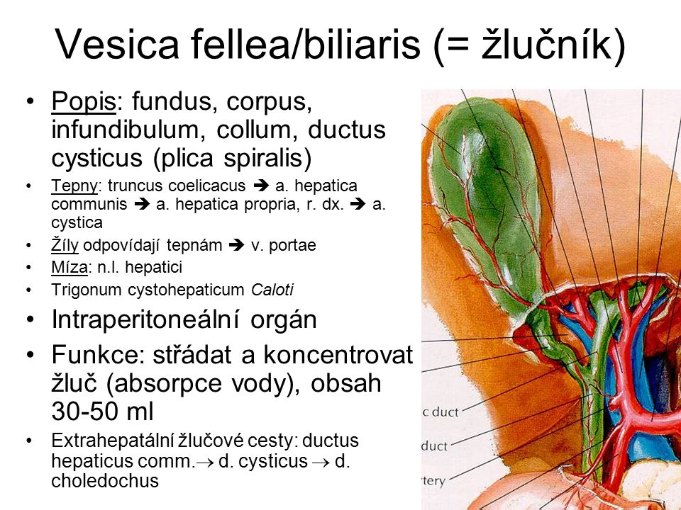 Vesica fellea/biliaris (= žlučník)