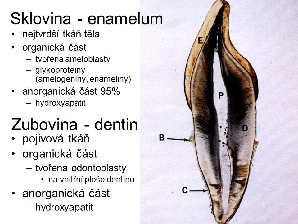 Sklovina - enamelum Zubovina - dentin pojivová tkáň organická část