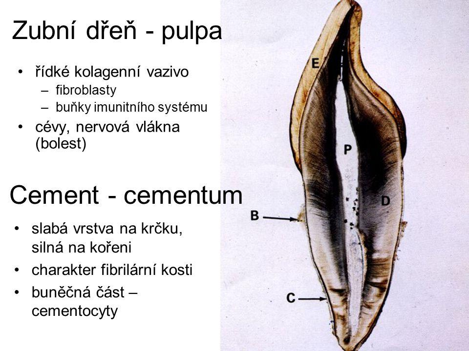 Zubní dřeň - pulpa Cement - cementum řídké kolagenní vazivo