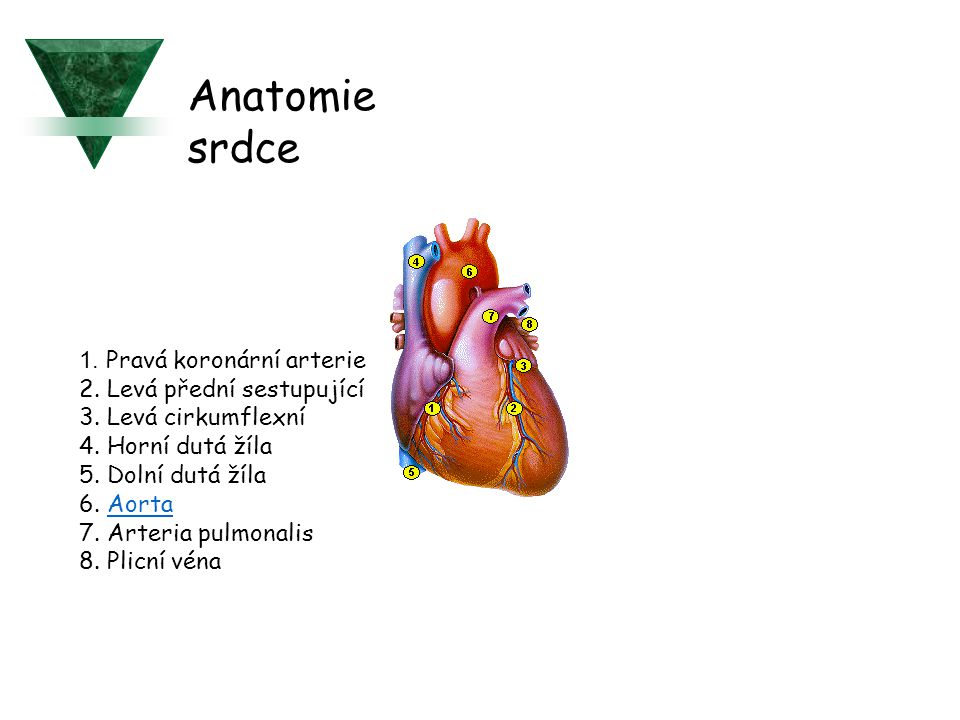 Anatomie srdce 1. Pravá koronární arterie 2. Levá přední sestupující