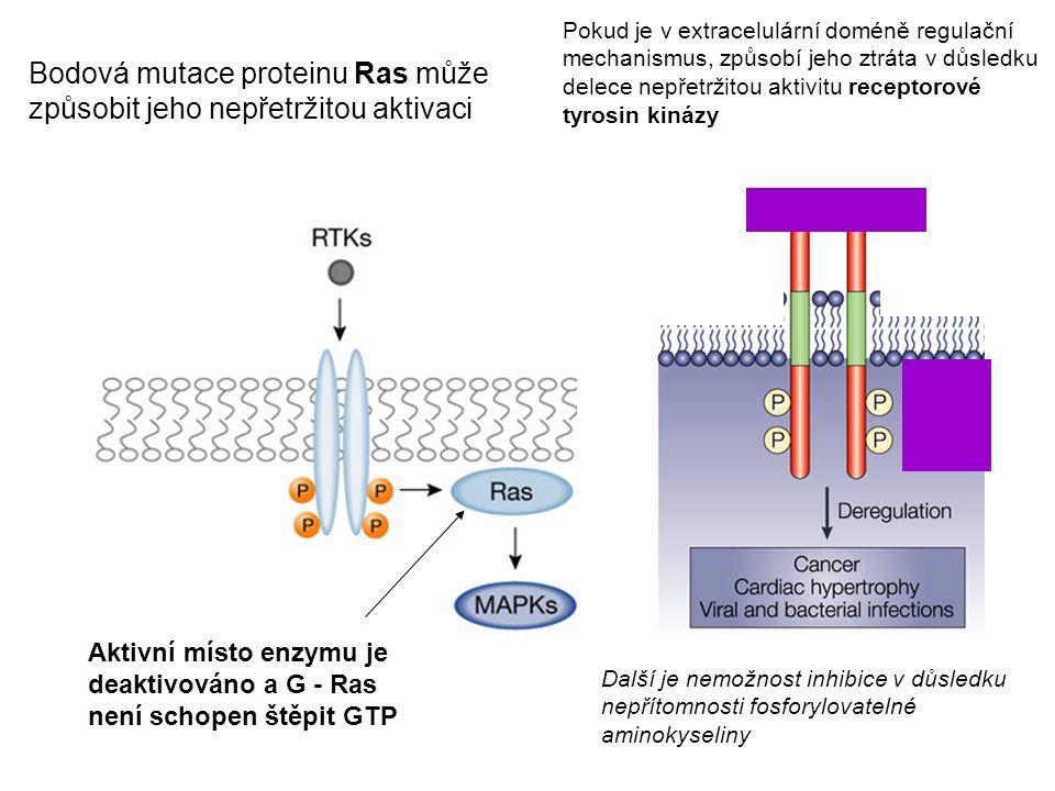 Bodová mutace proteinu Ras může způsobit jeho nepřetržitou aktivaci