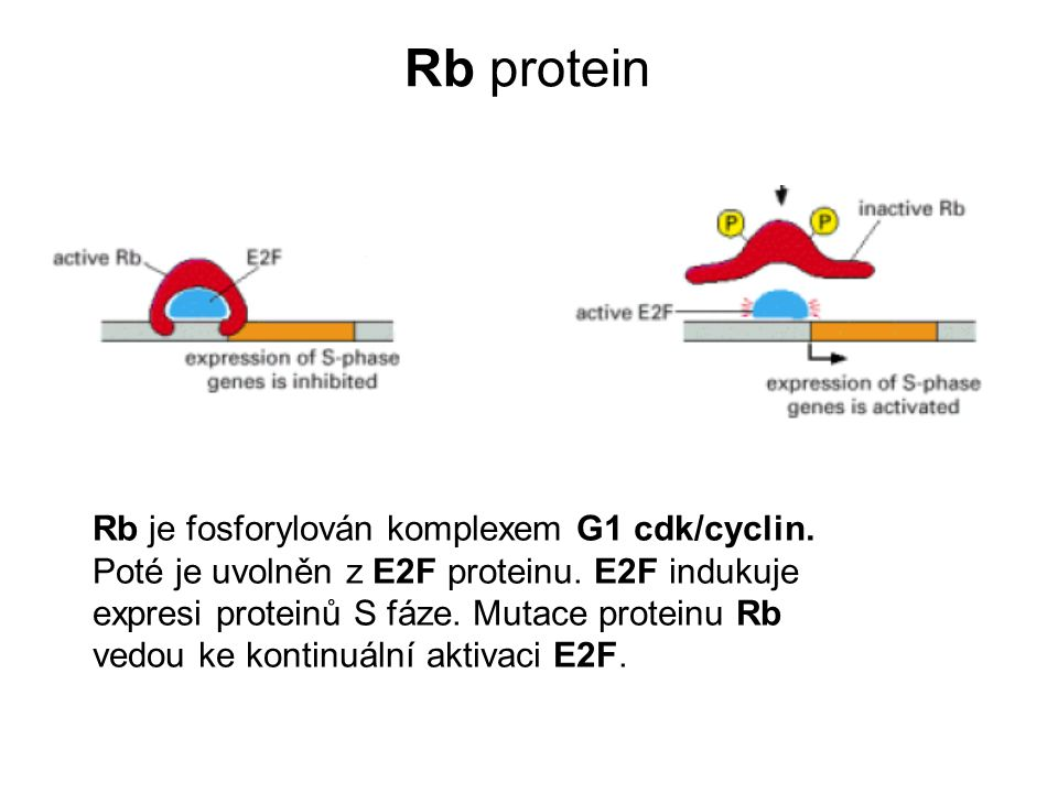 Rb protein