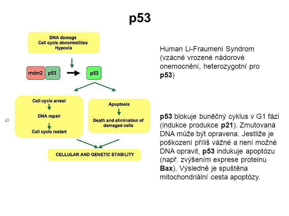 p53 Human Li-Fraumeni Syndrom (vzácné vrozené nádorové onemocnění, heterozygotní pro p53)