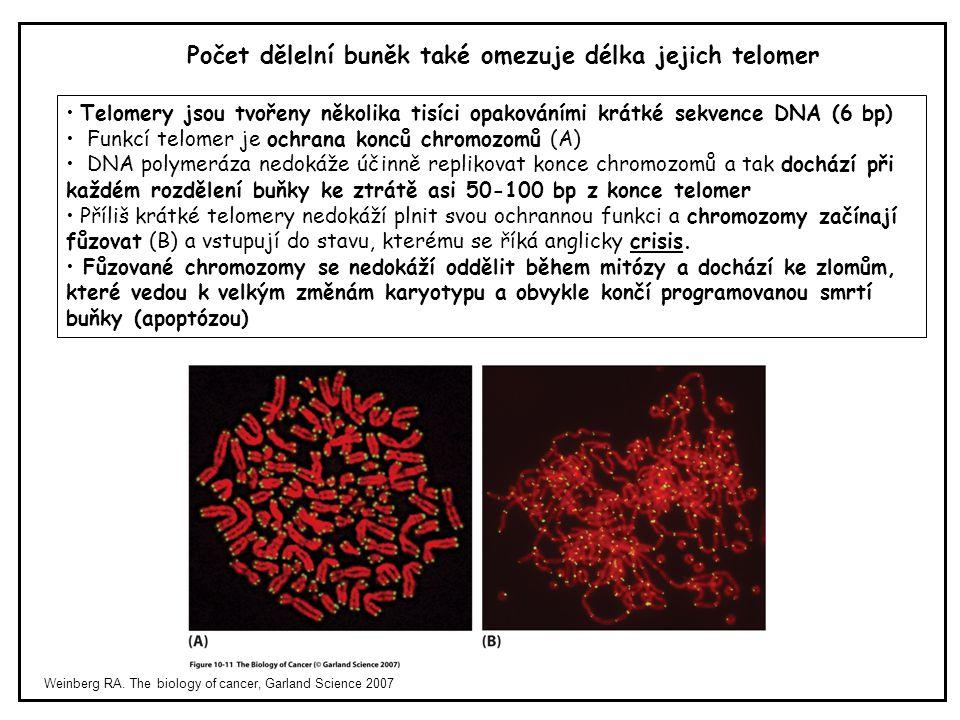 Počet dělelní buněk také omezuje délka jejich telomer